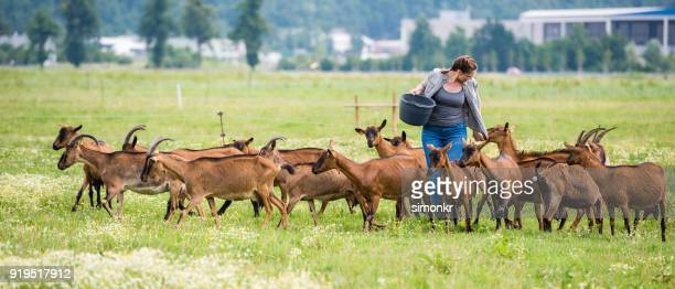 Herder feeding group of goats