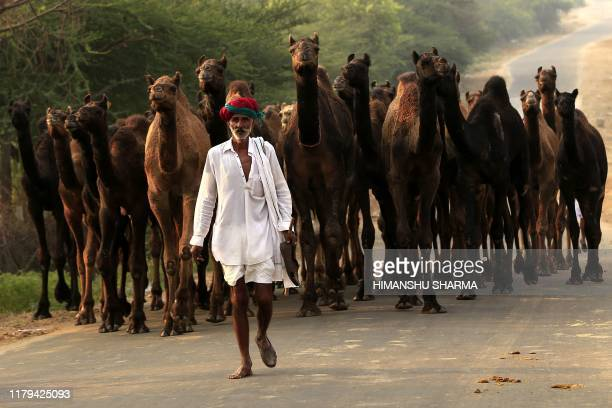 A herder leads his camels along a road to attend the Pushkar Camel Fair in Pushkar in the western state of Rajasthan on November 2 2019 Thousands of...