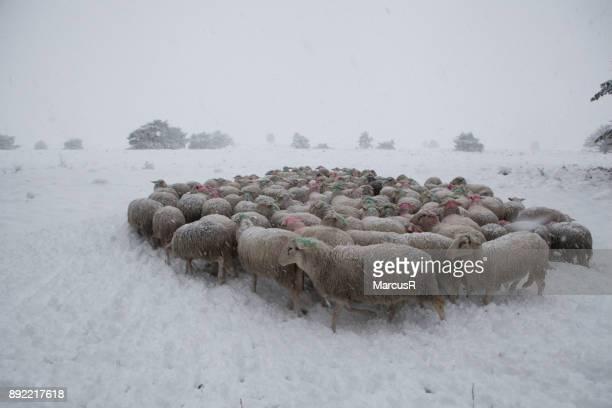 Herder met kudde op pad door de sneeuw