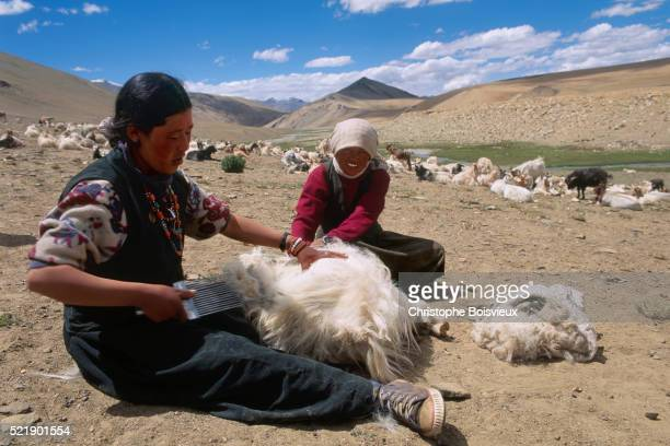 Herders Collecting Pashmina Wool