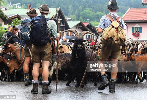 Herders dressed in traditional Bavarian clothes drive goats down the Alps on September 4 2010 in Mittenwald Germany Every year cows sheep and goats...