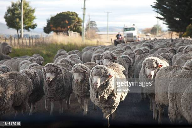 Herding a mob or flock of sheep