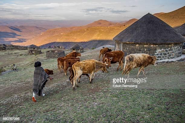 herding cattle - lesoto fotografías e imágenes de stock