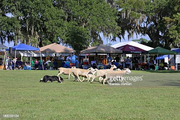 CONTENT] Herding dog demonstration at the Highland Games in Charleston SC Highland Games celebrate Scottish culture and are held every September in...