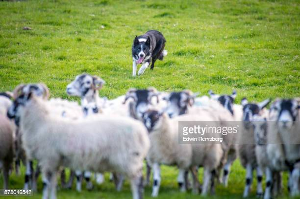 herding dog - chasing stock pictures, royalty-free photos & images