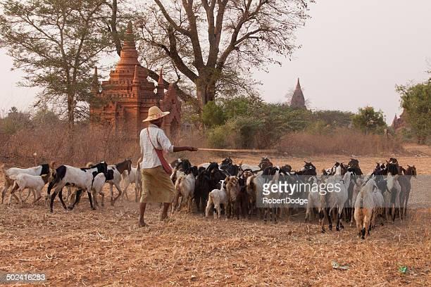 Herding Goats in Myanmar