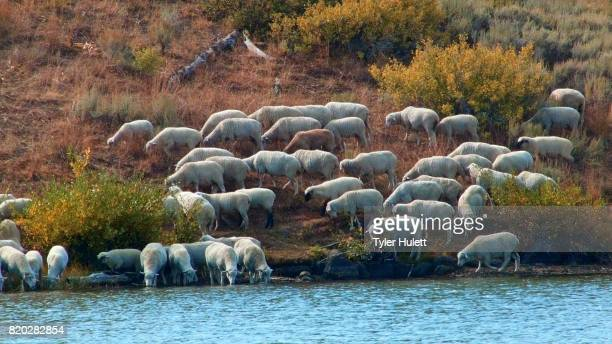 herding on open range wild west 1 sheep steens mountain near malhuer wildlife refuge 1 - steens mountain stock pictures, royalty-free photos & images