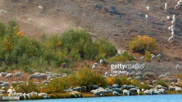 herding on open range wild west 2 sheep steens mountain near malhuer wildlife refuge 2 - steens mountain stock pictures, royalty-free photos & images