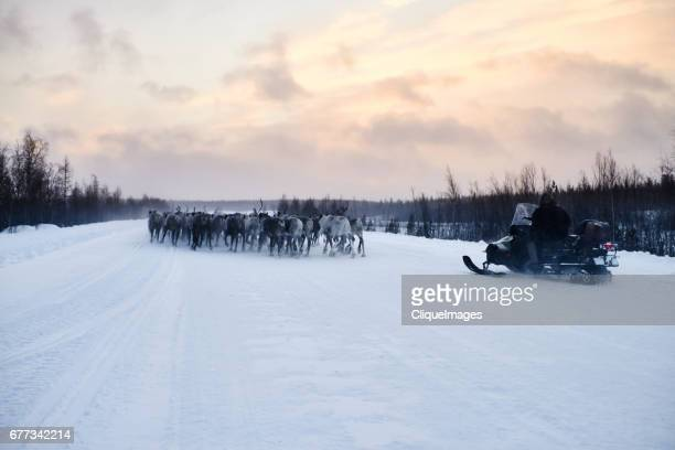 herding reindeer on snowmobile - cliqueimages stockfoto's en -beelden