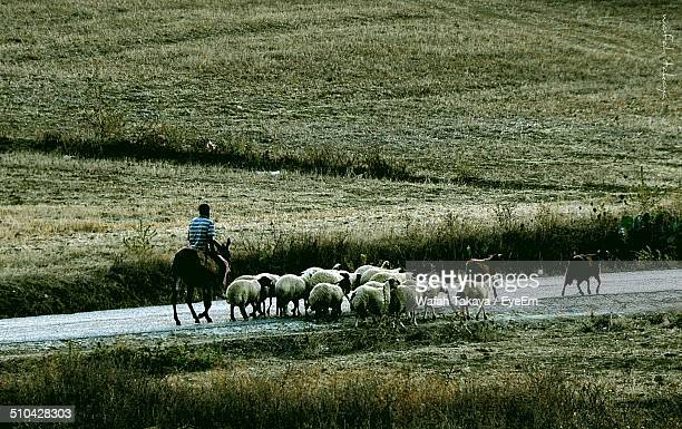 Herding sheep on country road along landscape