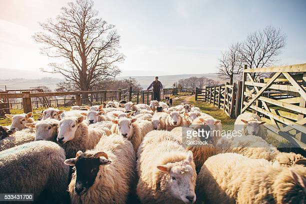herding sheep - british culture stock pictures, royalty-free photos & images