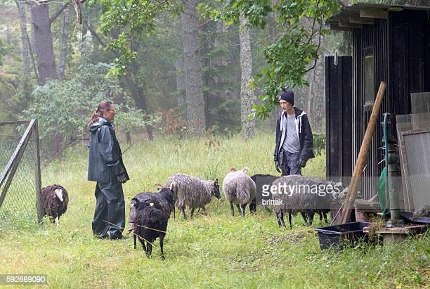 Herding the sheep in the rain. Stockholm Archipelago, Sweden.