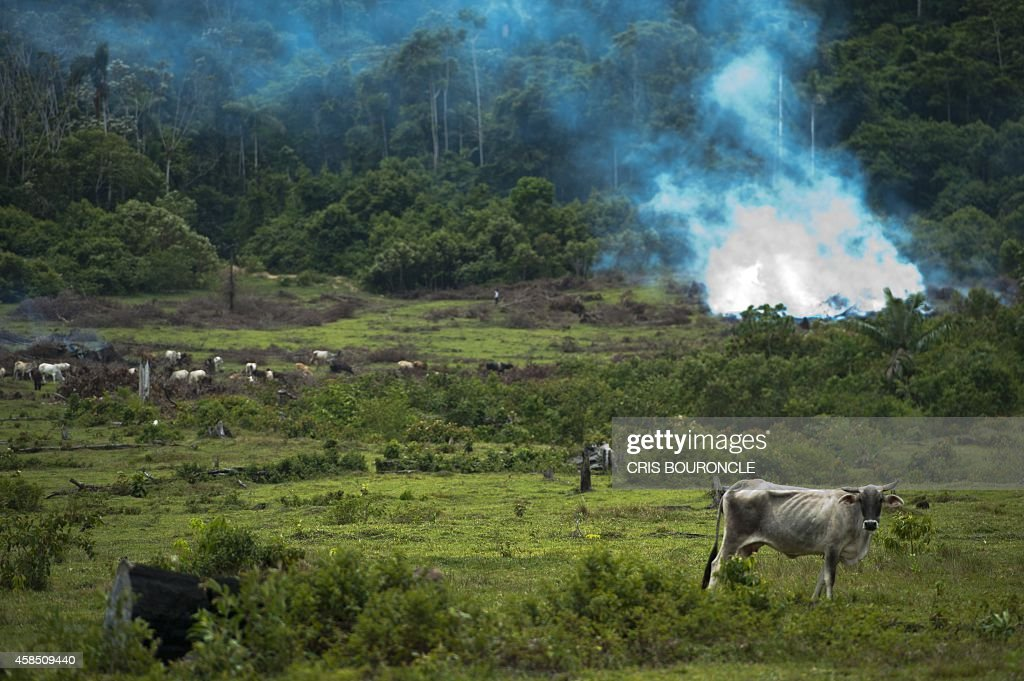 Herds of cattle graze on pastures created by migrant colonizers close to Puerto Maldonado, considered as the Peruvian capital of biodiversity, some 1,660 kilometres (995 miles) southeast of Lima on October 2, 2014. In a few years, illegal mining and deforestation by the advance of new has wiped out about 58 thousand hectares of forested areas, poisoning rivers with 30 to 40 tons of mercury being dumped into its basins every year.