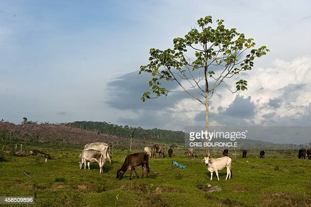 Herds of cattle graze on pastures created by migrant colonizers close to Puerto Maldonado considered as the Peruvian capital of biodiversity some...
