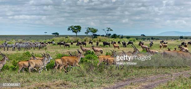 Herds of Eland Antelopes -Taurotragus oryx-, Zebras -Equus quagga- and Blue Wildebeest -Connochaetes taurinus-, Masai Mara National Reserve, Kenya, East Africa, Africa, PublicGround