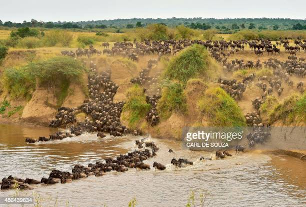 Herds of wildebeest cross the river in Masai Mara on September 4 2015 Every year hundreds of thousands of wildebeest make the crossing from the...