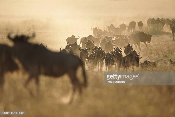 Herds of wildebeest  crossing savannah during Serengeti migration