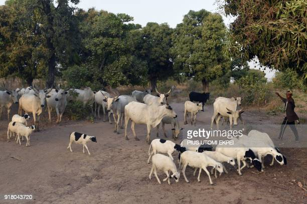 A herdsbman leads animals to cross a road in Lafia capital of Nasarawa State northcentral Nigeria on January 4 2018 Nomadic cattle herders have all...