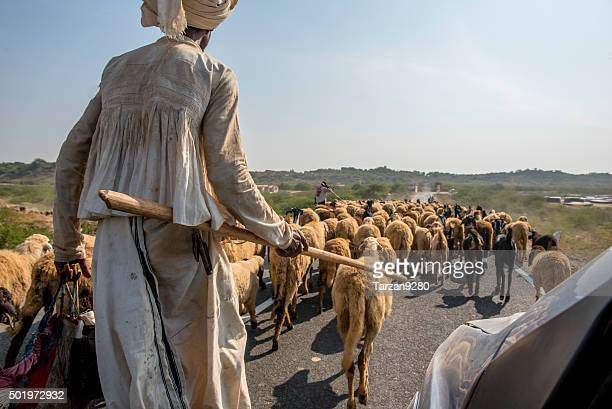 herdsman leading flock of sheep along road, gujarat, india - gujarat stock pictures, royalty-free photos & images