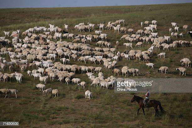 Herdsman pastures sheep on August 8, 2006 in Xilinhot of Inner Mongolia Autonomous Region, China. Xilinhot, located in the middle of Xilin Gol...