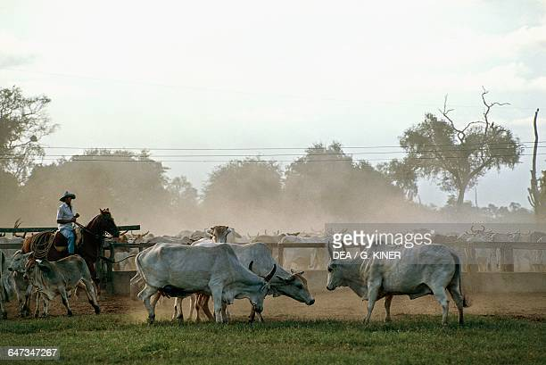 Herdsman riding on a cattle farm Mennonite community from Chaco Filadelfia Paraguay