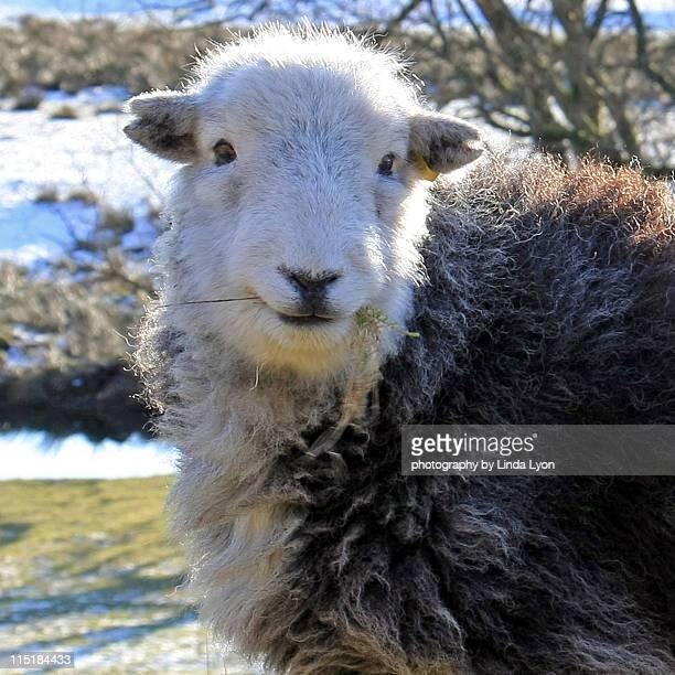 Herdwick ewe at elterwater