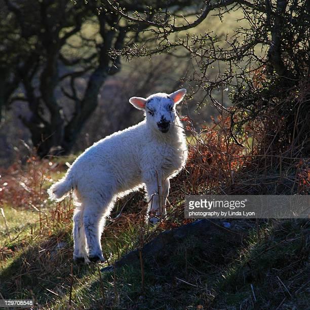 Herdwick lamb contre jour