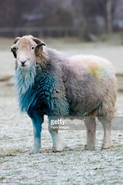 Herdwick ram in Borrowdale English Lake District covered in blue raddle after autumn mating season