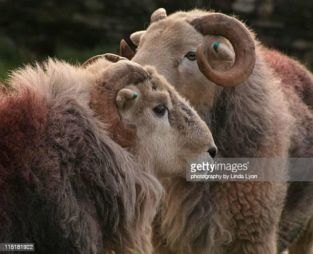 Herdwick Rams at Rosthwaite