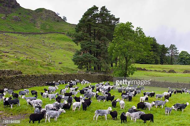 Herdwick sheep and lambs at Westhead Farm by Thirlmere in the Lake District National Park Cumbria UK