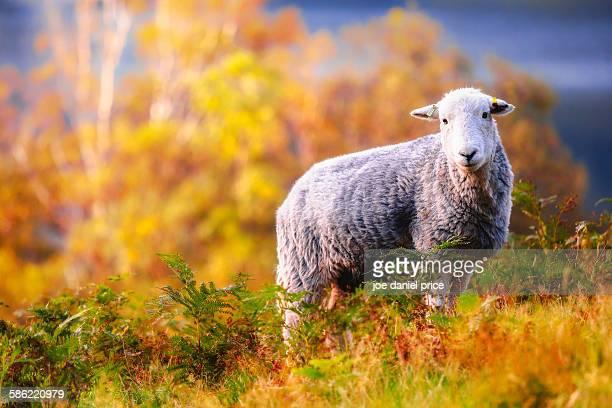 Herdwick Sheep, Buttermere, Lake District, Cumbria