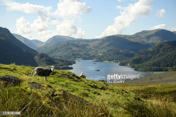 Herdwick sheep graze on the fells above Ullswater in the sunshine near Glenridding in the Lake District in north west England on Bank Holiday Monday,...