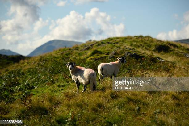 Herdwick sheep graze on the fells above Ullswater lake in the sunshine near Glenridding in the Lake District in north west England on Bank Holiday...