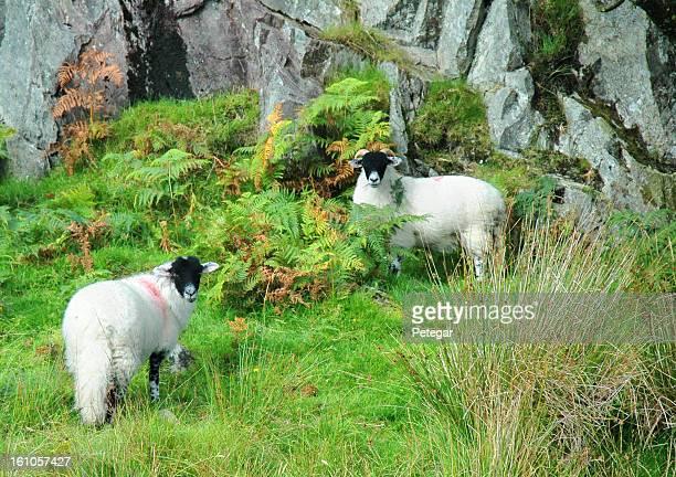 Herdwick Sheep in Langdale, Cumbria