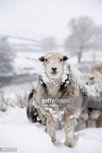 Herdwick sheep in snow Cumbria