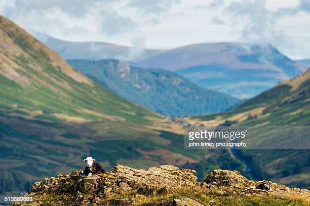 Herdwick sheep in the Lake District