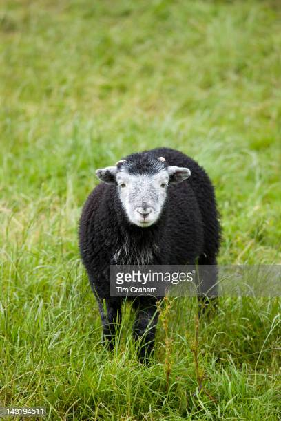 Herdwick sheep lamb at Westhead Farm by Thirlmere in the Lake District National Park Cumbria UK