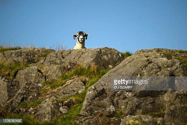 Herdwick sheep looks out from behind a rock on the fells above Ullswater in the sunshine near Glenridding in the Lake District in north west England...