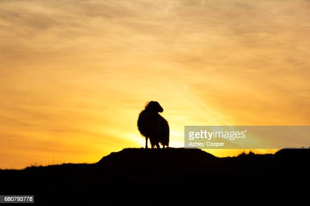 A Herdwick sheep on Loughrigg in the Lake District at sunset, UK.