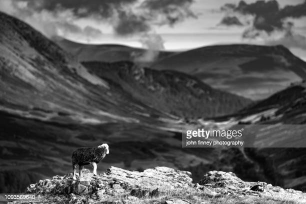 Herdwick sheep on Loughrigg with a shallow septh of field. Ambleside, Lake District, UK