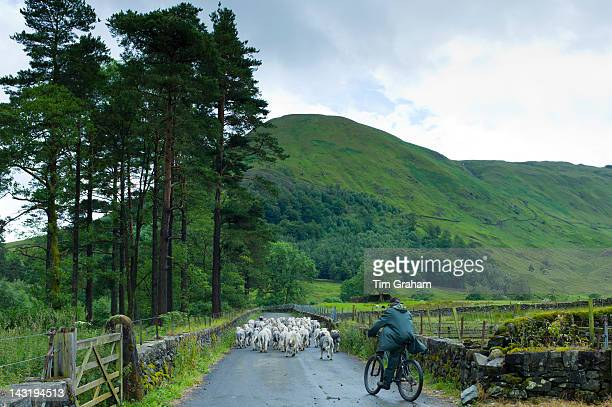 Herdwick sheep with shepherd by Westhead Farm by Thirlmere in the Lake District National Park Cumbria UK