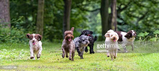 here come the girls... - spaniel stock photos and pictures