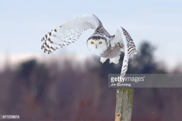 here i come! - snowy owl - chouette blanche photos et images de collection