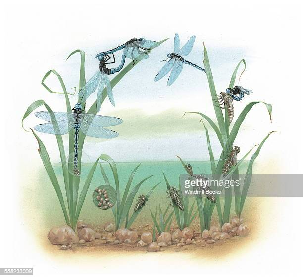 Here you can see the life cycle of the dragonfly They first start as eggs in water the eggs then hatch into naiads where they mostly stay beneath the...