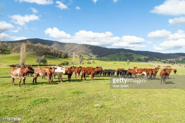 hereford beef cattle in green pastures with blue sky - agricultural occupation stock pictures, royalty-free photos & images