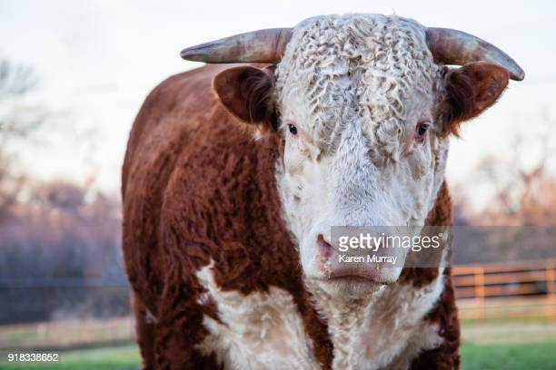 hereford bull - bullock stock photos and pictures