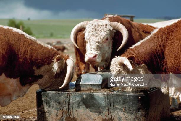 Hereford Bulls at a Watering Trough