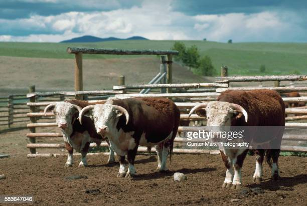 hereford bulls in a corral - 家畜柵 ストックフォトと画像