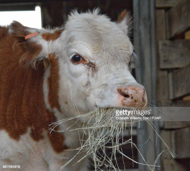 Hereford calf eating hay