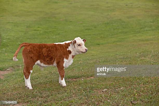 Hereford Calf in Pasture